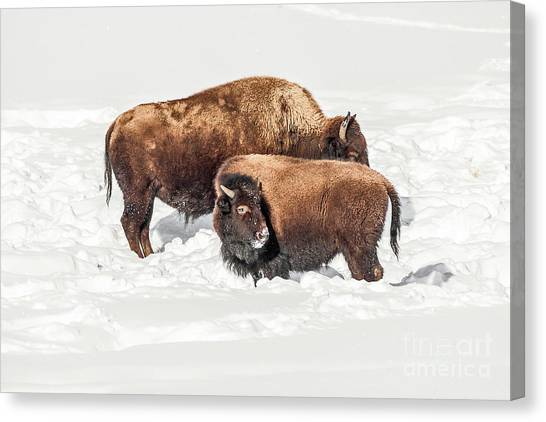 Juvenile Bison With Adult Bison Canvas Print