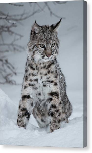 Juvenile Bobcat In The Snow Canvas Print