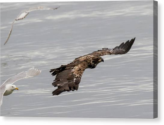 Juvenile Eagle With Gulls Canvas Print