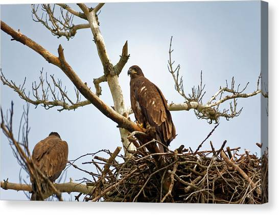 Juvenile Eagles Canvas Print