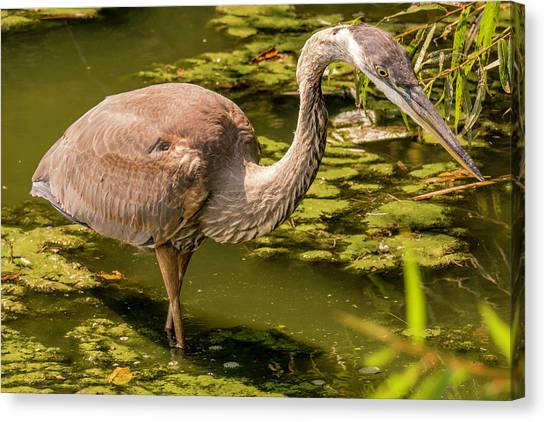 Juvenile Great Blue Heron Canvas Print