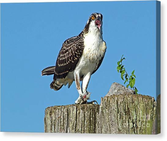 Juvenile Osprey#1 Canvas Print