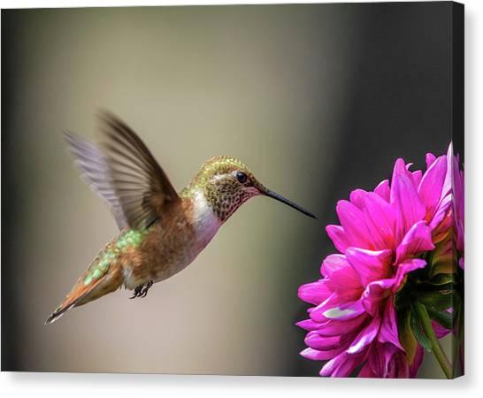 Selasphorus Canvas Print - Juvenile Rufous Hummingbird And Pink Dahlia by Dawn Key