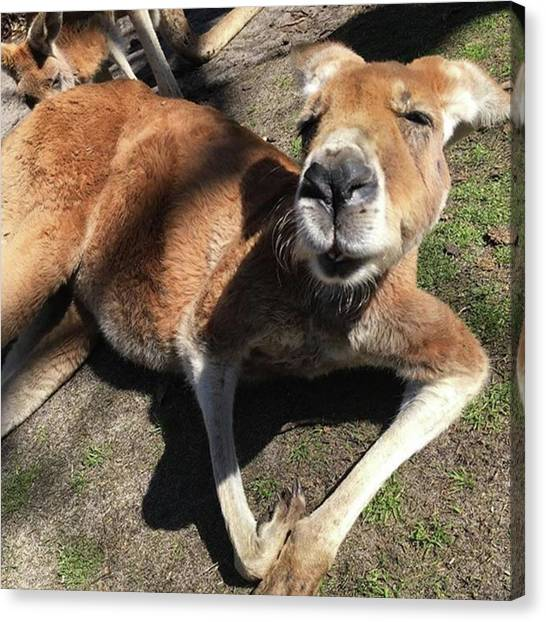 Kangaroo Canvas Print - #kangaroo #funnyface #whataface #animal by Summer Maeda