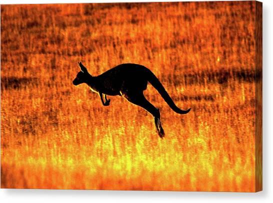 Kangaroo Sunset Canvas Print