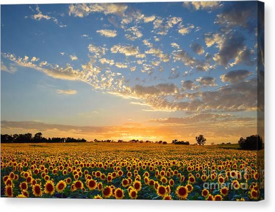 Kansas Sunflowers At Sunset Canvas Print