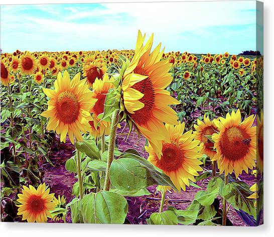 Kansas Sunflowers Canvas Print