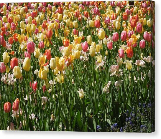 Kathy's Tulips Canvas Print
