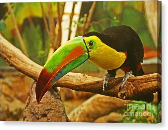 Arenal Volcano Canvas Print - Keel-billed Toucan, Costa Rica by Blair Seitz