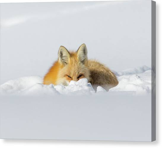 Snow Hide Canvas Print