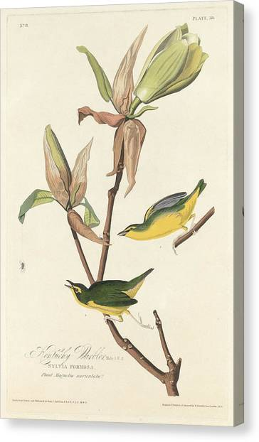 Warblers Canvas Print - Kentucky Warbler by Dreyer Wildlife Print Collections