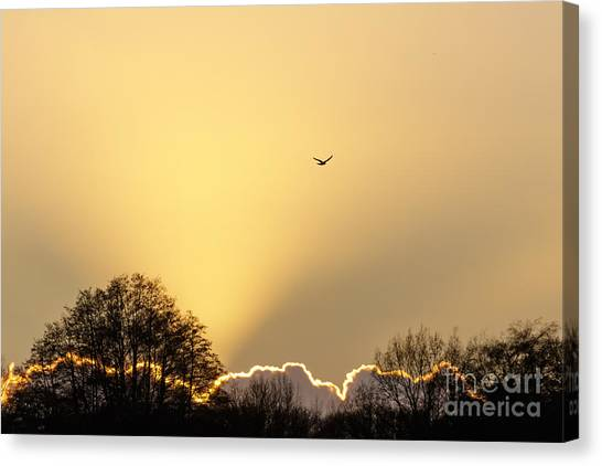 Kestrel Hunting At Sunset Canvas Print