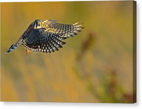 Kestrel Takes Flight Canvas Print