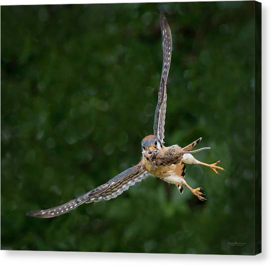 Kestrel With Prey Canvas Print