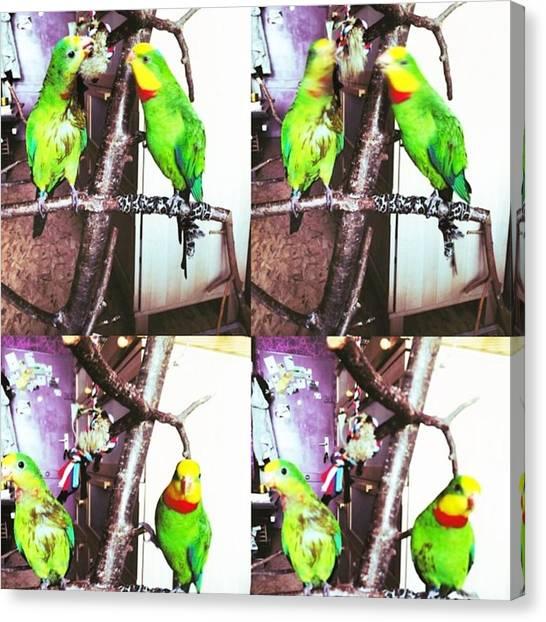 Parrots Canvas Print - Kiki Uschi 7 8 2014 #schildsittiche by Alessandro  Lo Monaco