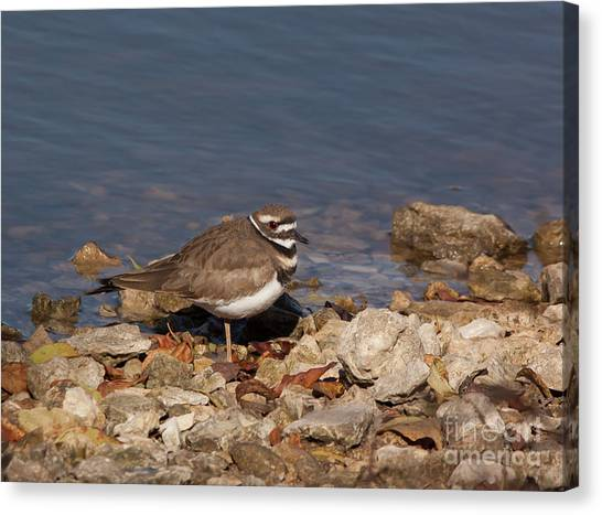 Killdeer Canvas Print - Kildeer On The Rocks by Robert Frederick