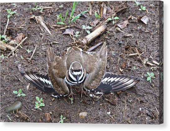 Killdeer Canvas Print - Killdeer 3076 by Michael Peychich