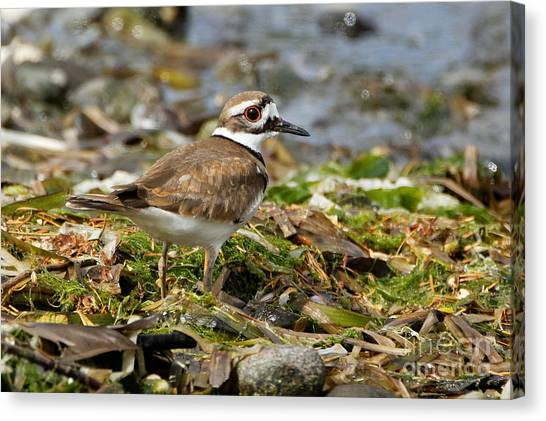 Killdeer At The Coast Canvas Print
