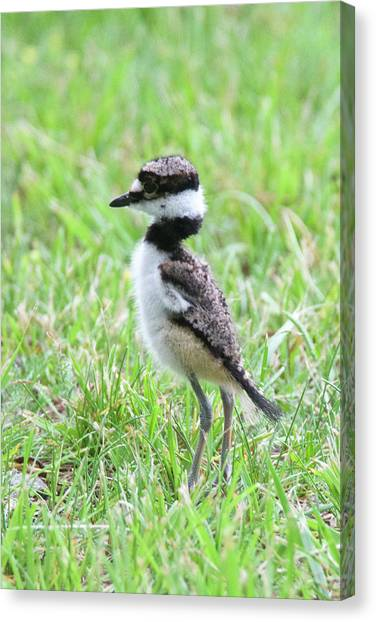 Killdeer Canvas Print - Killdeer Chick 3825 by Michael Peychich