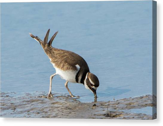 Killdeer Canvas Print - Killdeer by Jurgen Lorenzen