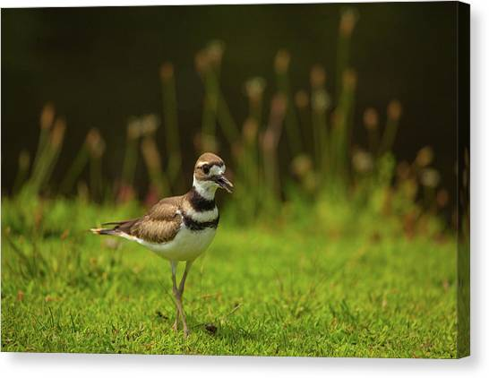 Killdeer Canvas Print - Killdeer by Karol Livote