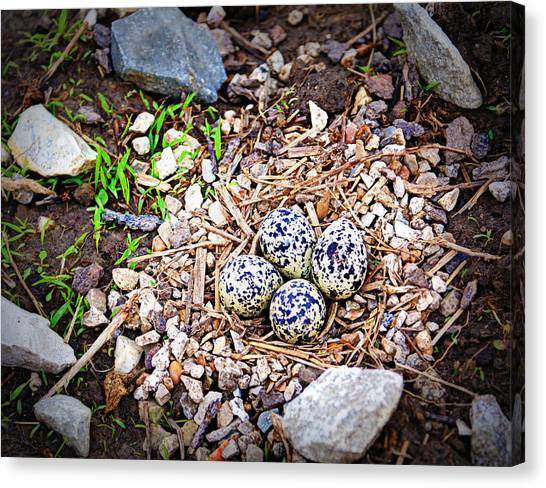 Killdeer Canvas Print - Killdeer Nest by Cricket Hackmann