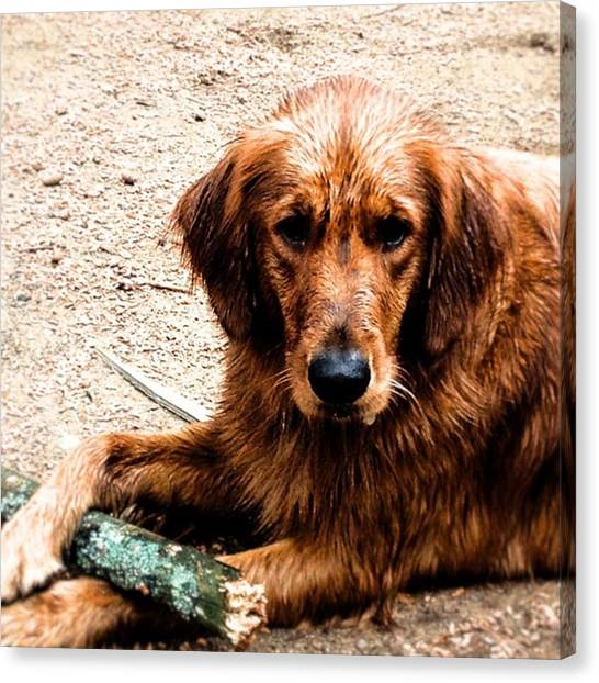 Golden Retrievers Canvas Print - Kimber With Her Sticks. This Is How She by Todd Lutz