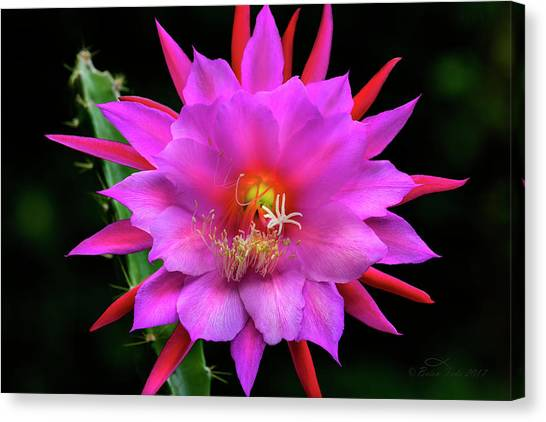 Kimnach's Pink Orchid Cactus Canvas Print