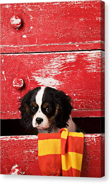 Drawers Canvas Print - King Charles Cavalier Puppy  by Garry Gay