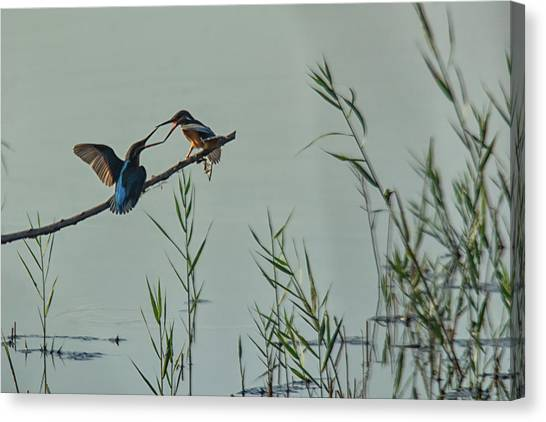 King Fishers  Canvas Print