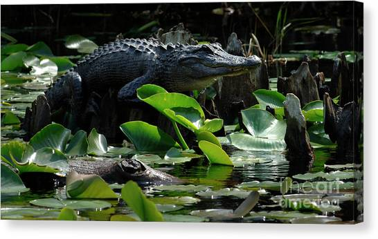 Okefenokee Canvas Print - King Of Okefenokee by Bob Christopher