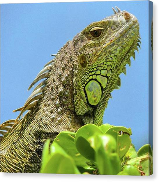 Iguanas Canvas Print - King Of The Hill. #iguanalife In by Claudia Miller