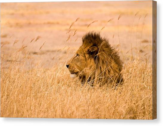 African Canvas Print - King Of The Pride by Adam Romanowicz