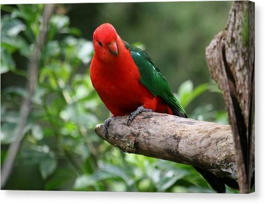 Macaws Canvas Print - King Parrot by Super Lovely