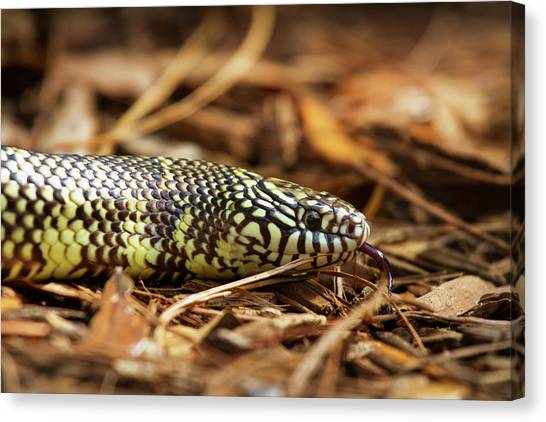 King Snake 2 Canvas Print
