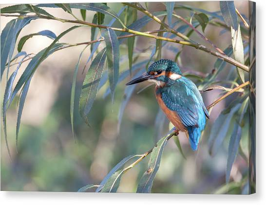 Kingfisher In Willow Canvas Print