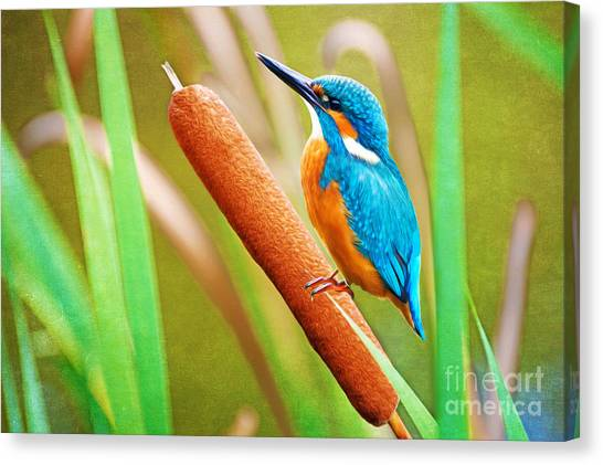 Kingfisher Canvas Print - Kingfisher by Laura D Young