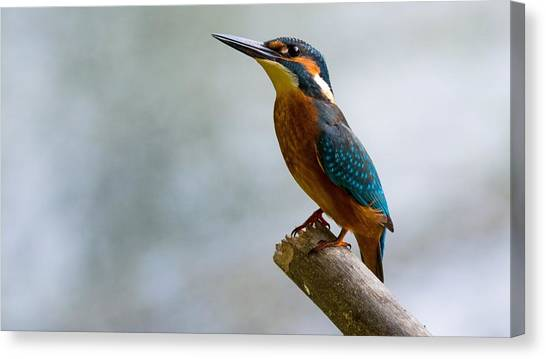 Starlings Canvas Print - Kingfisher by Maye Loeser