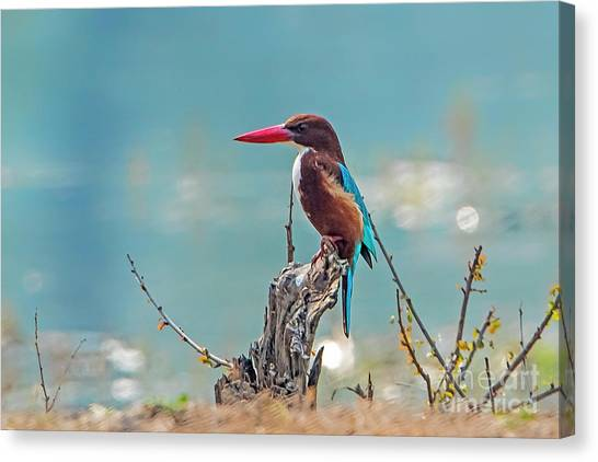 Kingfisher On A Stump Canvas Print