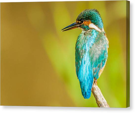 Kingfisher Canvas Print - Kingfisher by Paul Neville