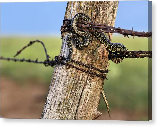 Kingsnake On The Kansas Plains Canvas Print by JC Findley