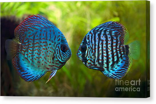 Amazon River Canvas Print - Kissing Discus Fish by Brandon Alms