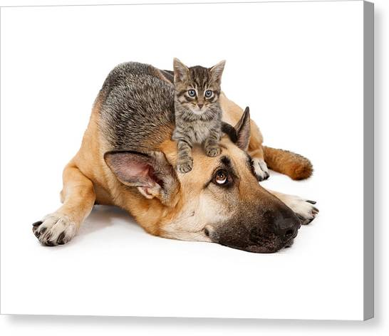 Small Mammals Canvas Print - Kitten Laying On German Shepherd by Susan Schmitz