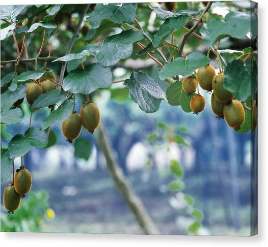 Fruit Trees Canvas Print - Kiwi by Maye Loeser