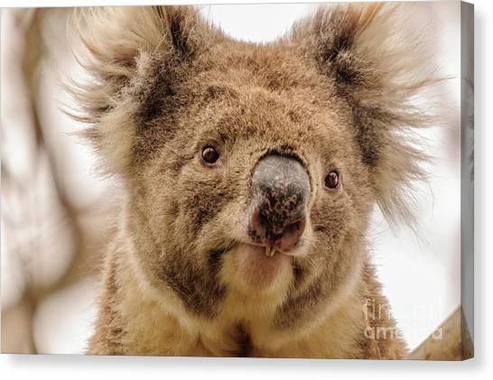 Koala 4 Canvas Print