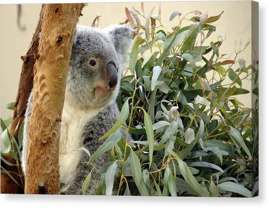 Koala Bear I Canvas Print