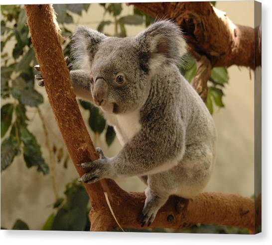 Koala Bear II Canvas Print