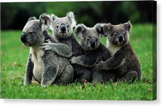 Teddy Bears Canvas Print - Koala by Mariel Mcmeeking