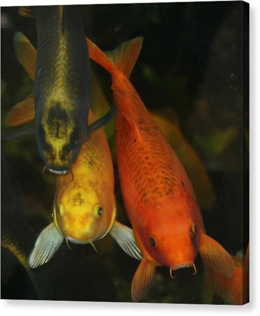 koi Canvas Print by Russell  Barton