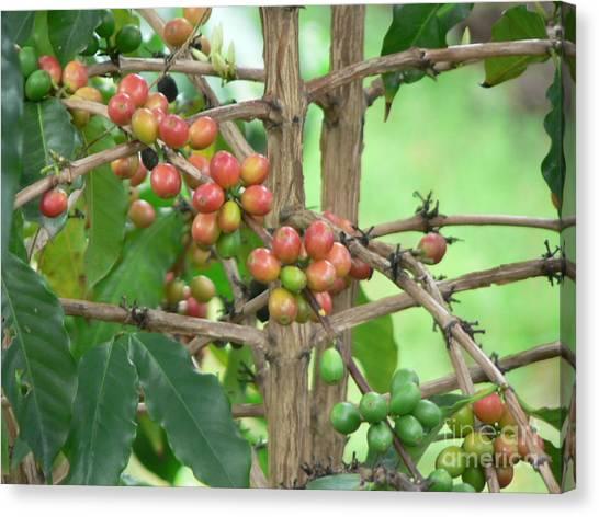 Coffee Plant Canvas Print - Kona Coffee by Don Lindemann